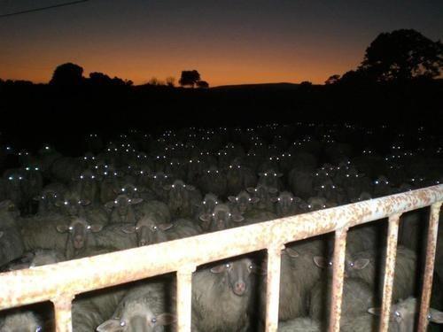 creepy,eyes,wrong neighborhood,sheep