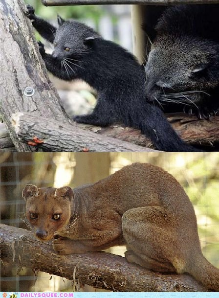 Squee Spree: Bearcat vs. Fossa