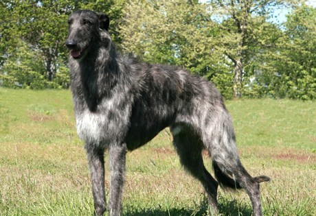 Goggie ob teh Week FACE OFF: Scottish Deerhound