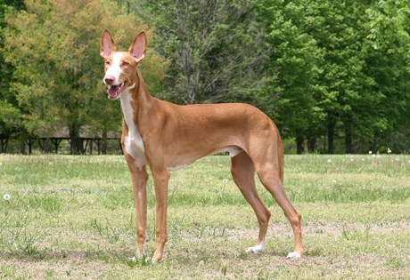Goggie ob teh Week FACE OFF: Ibizan Hound