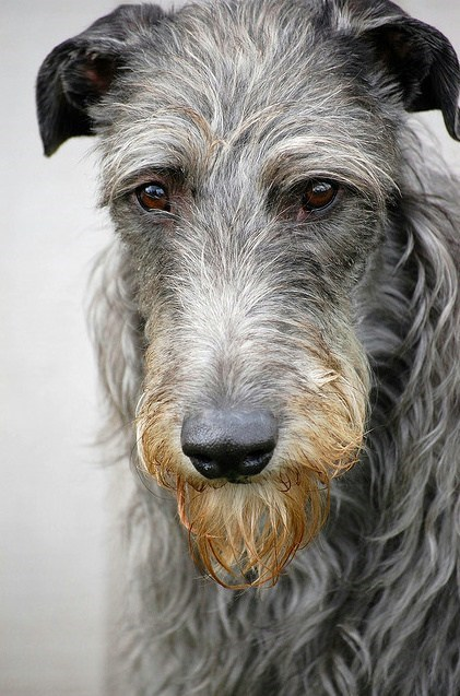 Goggie ob teh Week: Deerhound Wins!