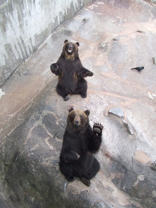 paws,brown bear,o hai,zoo,bear,waving,squee