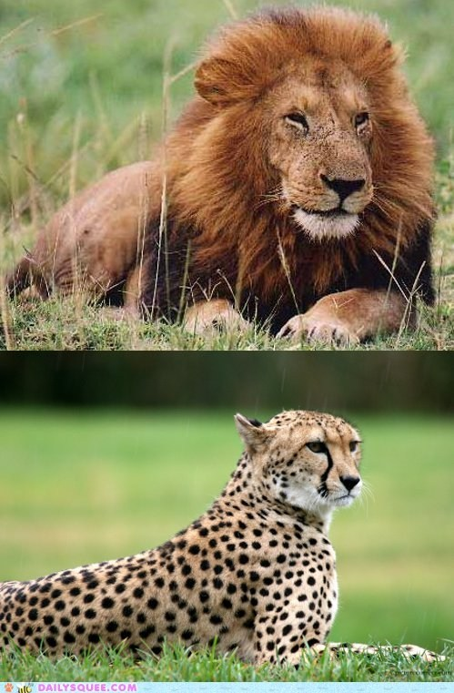 Squee Spree: Lion vs. Cheetah