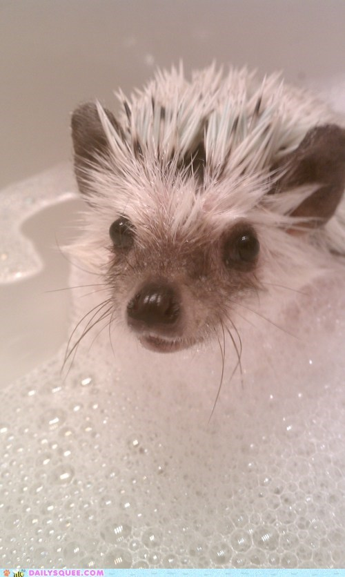 reader squee,bath,spines,hedgehog,pet,bubbles,squee