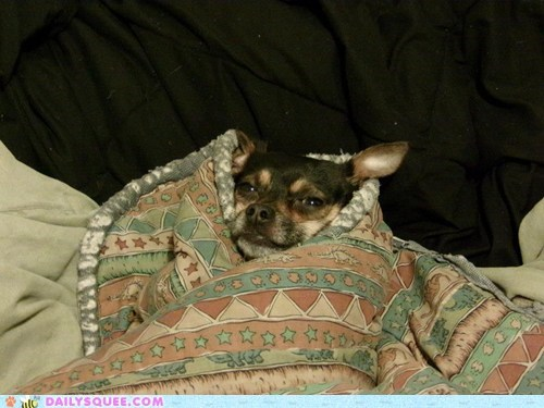 dogs,reader squee,comfy,chihuahua,blanket,snug