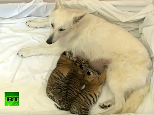 Around the Interwebs: Shepherd Dog Becomes Mom to Three Tiger Cubs