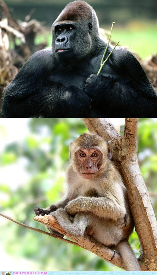 Squee Spree: Gorilla vs. Macaque