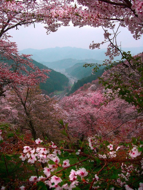 Through the Blossoms