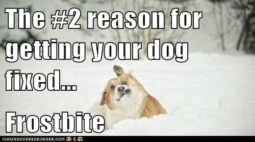 The #2 reason for getting your dog fixed...  Frostbite