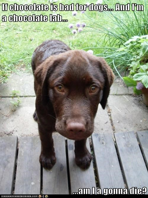 If chocolate is bad for dogs... And I'm a chocolate lab...  ...am I a gonna die?