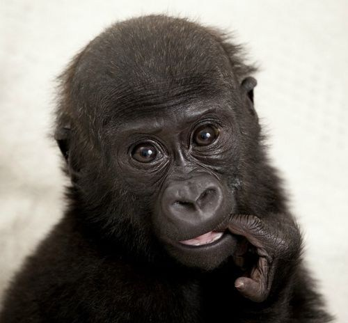 Squee Spree: Gorillas Win!