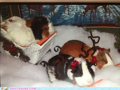 christmas,s,reader squee,guinea pigs,squee,holidays