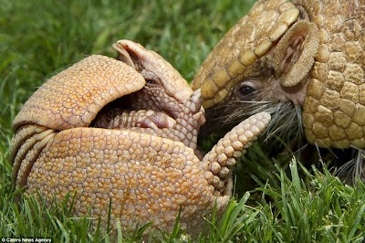 Creepicute: Leathery Armadillos