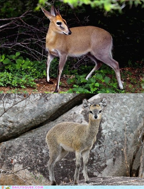 poll,versus,duiker,face off,squee spree,squee,klipspringer
