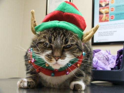 cyoot kitteh of teh day,christmas,grumpy,costume,angry,elves,Cats