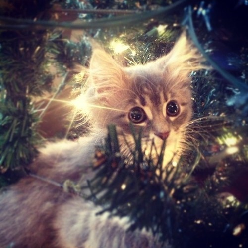 cyoot kitteh of teh day,christmas,inside,kitten,trees,christmas trees,Cats,hiding