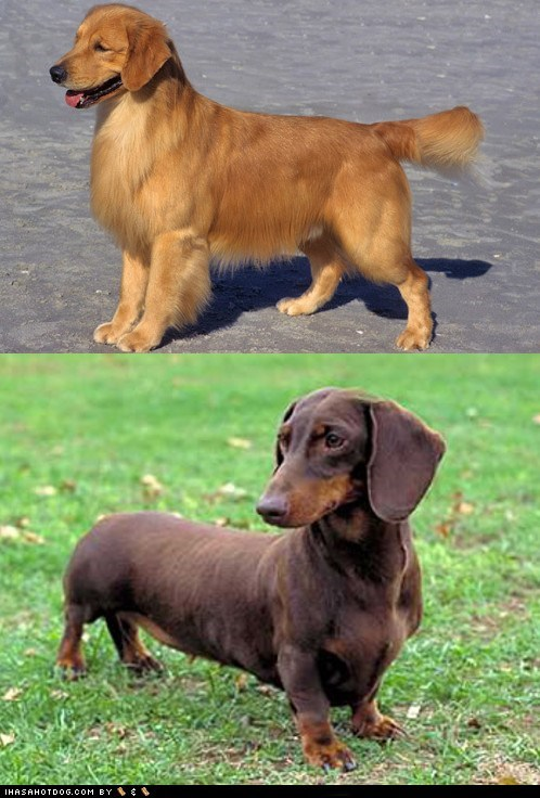 Goggie ob teh Week FACE OFF: Golden Retriever vs. Dachshund