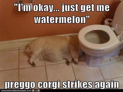 """I'm okay... just get me watermelon""  preggo corgi strikes again"