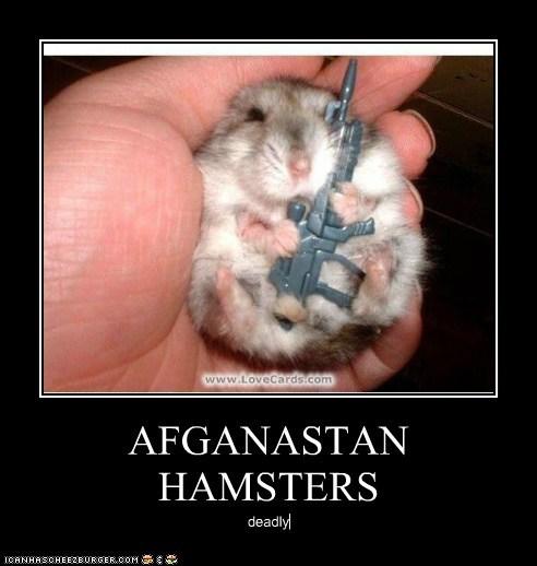 AFGANASTAN HAMSTERS