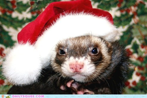 christmas,reader squee,ferrets,squee,santa hat,holidays