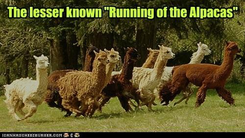 running of the bulls,running,lesser known,alpacas,field
