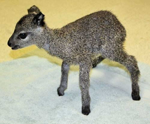 Squee Spree: Winning Klipspringer