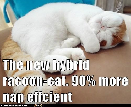 The new hybrid racoon-cat. 90% more nap effcient