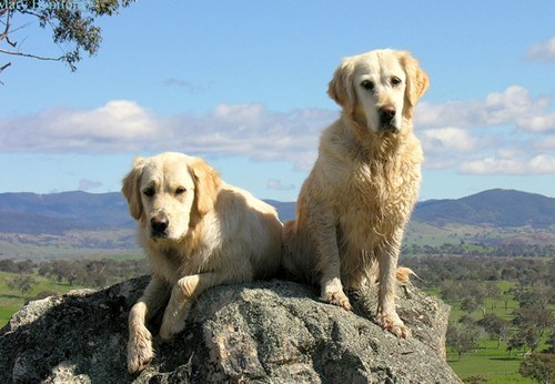dogs,popular,goggie ob teh week,golden retriever