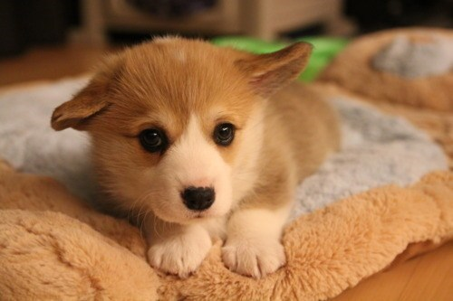 Cyoot Puppy ob teh Day: Floppy Eared Corgi