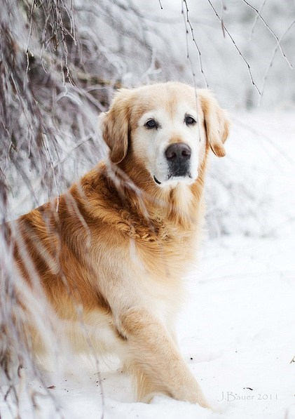 dogs,goggie ob teh week,famous,celeb,golden retriever