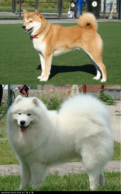 Goggie ob teh Week FACE OFF: Japanese Akita vs. Samoyed