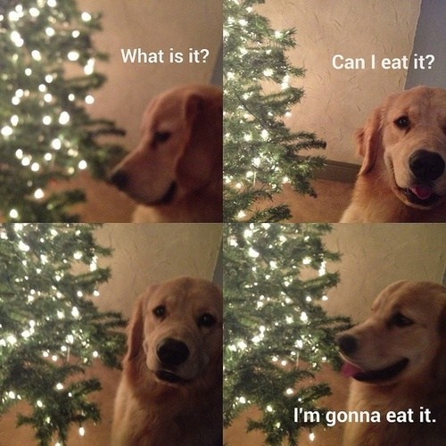 christmas,can i,dogs,naughty,ornaments,christmas trees,eating,multipanel,golden retrievers,stupid