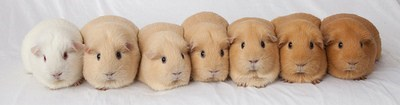 The Tan Spectrum of Guinea Pigs