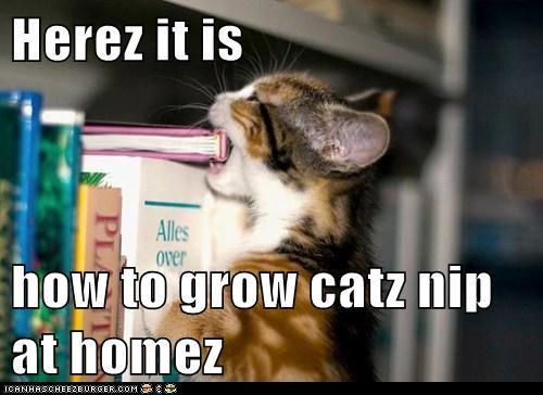Herez it is  how to grow catz nip at homez