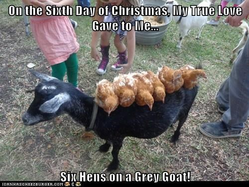 On the Sixth Day of Christmas, My True Love Gave to Me...  Six Hens on a Grey Goat!
