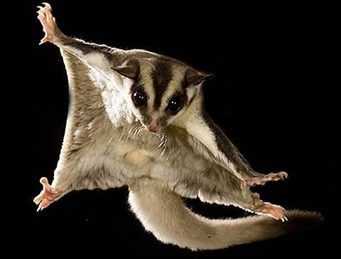 gliding,sugar gliders,squee spree,squee