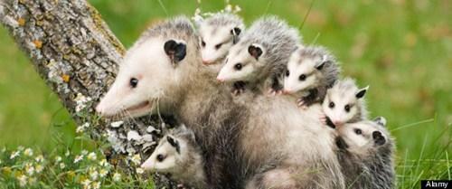 Creepicute: Opossums