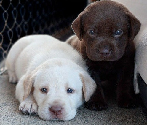 Cyoot Puppy ob teh Day: Lil Retrievers