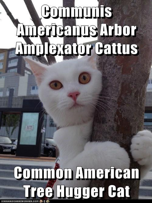 Communis Americanus Arbor Amplexator Cattus  Common American Tree Hugger Cat