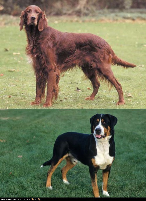Goggie ob teh Week FACE OFF: Irish Setter vs. Greater Swiss Mountain Dog