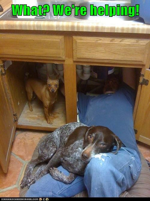 dogs,plumber,sink,kitchen,what breed,helping