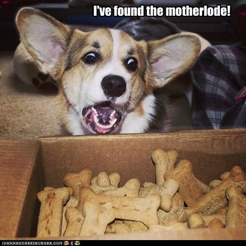 shock,dogs,treats,bones,box,corgi,motherlode,happy