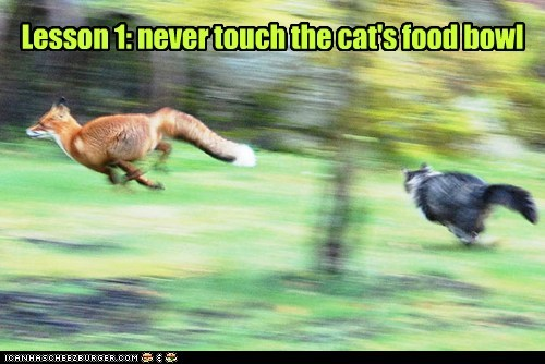foxes,lessons,food bowl,chasing,angry,Cats