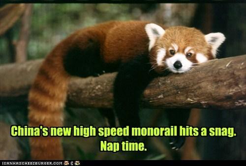China,red pandas,snag,nap time,monorail,sleeping