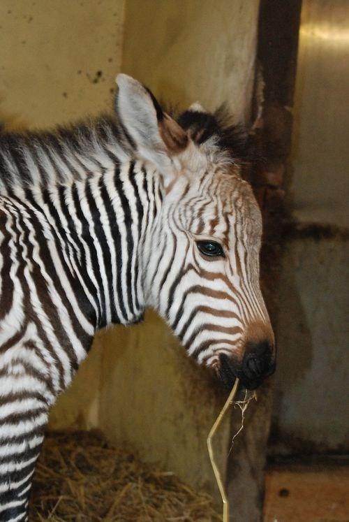 Squee Spree: Zebra Victory!