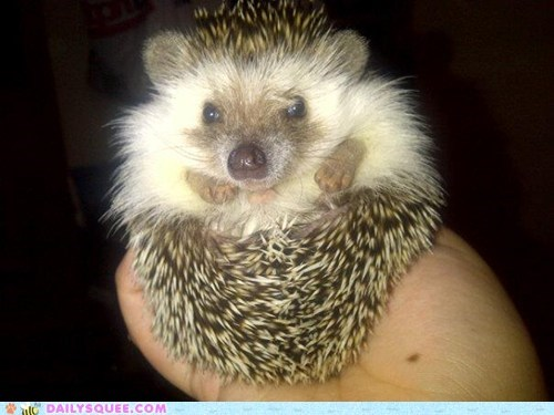 Reader Squee: Fluffy Hedgie!