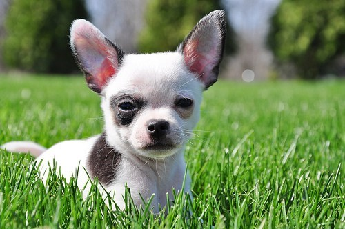 Cyoot Puppy ob teh Day: Tiny Chihuahua