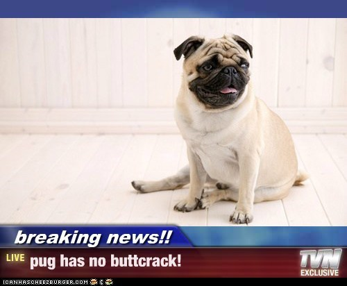 breaking news!! - pug has no buttcrack!
