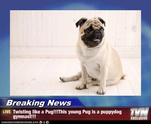 Breaking News - Twisting like a Pug!!!This young Pug is a puppydog gymnast!!!