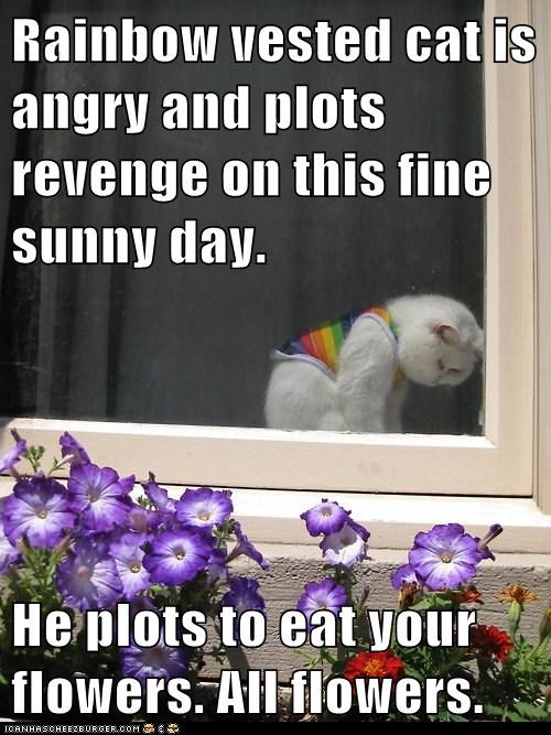 Rainbow vested cat is angry and plots revenge on this fine sunny day.  He plots to eat your flowers. All flowers.